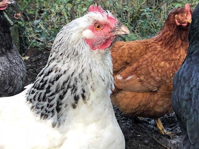 poules réduction déchets